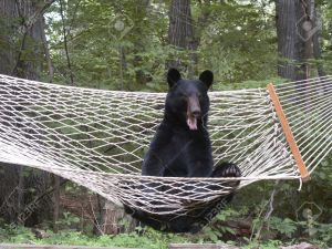 Hey, you lazy Maine black bears- Guvnah says it's time to get outta the hammock and get a job! Yeah, YOU there!